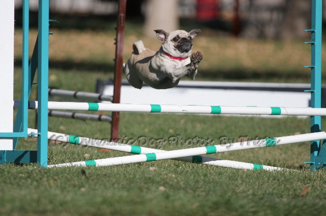 How To Train Your Dog For Agility Trials